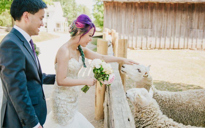 barn wedding photography with sheep toronto